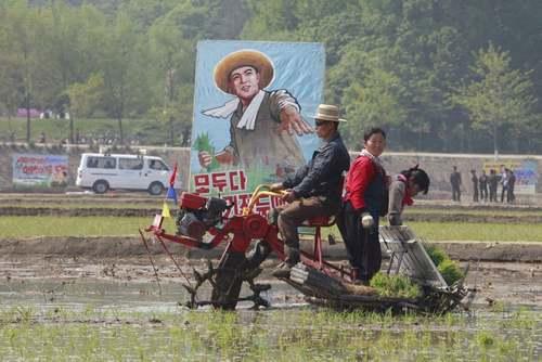 کشاورزان شالیکار در کره شمالی/ آسوشیتدپرس