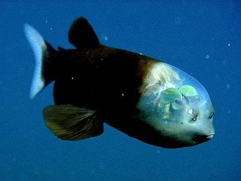 ماهی چشم بشکهای یا کله شیشه ای، ماهی کوچک آبهای عمیق با چشمانی بشکهای شکل و کلهای شفاف. شگفت انگیز است.