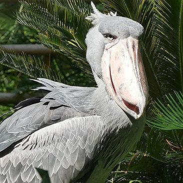 لک لک نیل که به خاطر استخوان بندی درشتش در بین پرندگان متمایز و شناخته میشود.