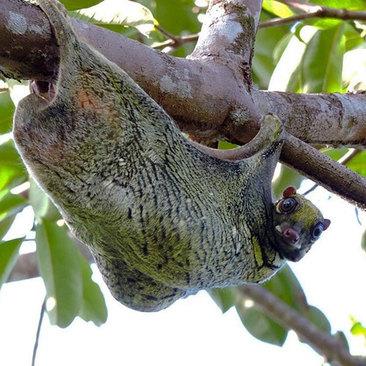 تا کنون موفق به دیدن میمون پرنده شده اید؟ نام این جانور