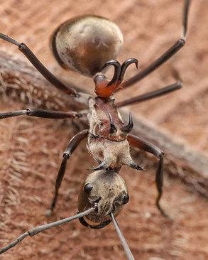 مورچه قلاب ماهی یک موجود خطرناک است که قلابهایی که بر روی پشت آنها وجود دارند، میتواند سر طعمه را بلافاصله قطع کند. همچنین این قلابها در حمل طعمهها به او کمک میکند.