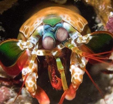 این موجود خنده دار با چشمهایی دیوانه کننده چیست؟ این موجود میگوی آخوندک است و یکی از رنگارنگترین موجودات دریایی محسوب میشود.