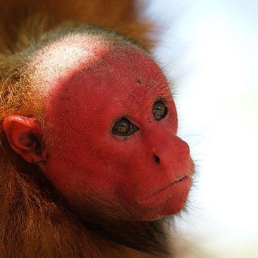 صورت قرمز رنگ از ویژگیهای متمایز این میمونهای اوکاری قرمز است. میمونهایی با ظاهر منحصر به فرد.