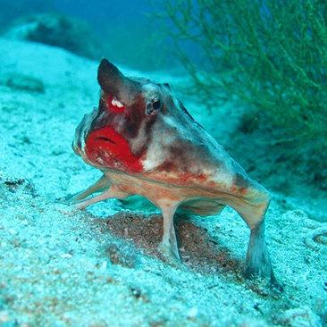 خفاش ماهی لب قرمز که میتواند یک نماد عالی تبلیغاتی و تجاری برای رژ لب باشد!