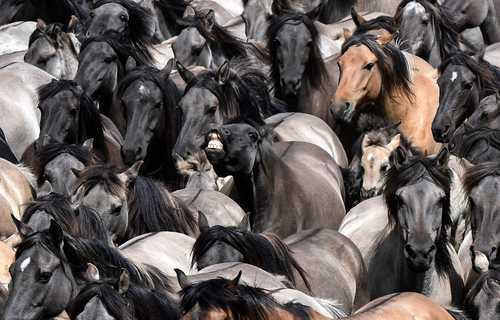 جداسازی اسبهای وحشی جوان از گله اسب وحشی / آلمان/ آسوشیتدپرس