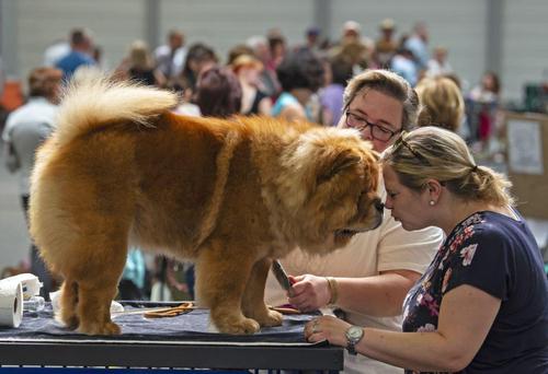 مسابقات سالانه سگهای زینتی در