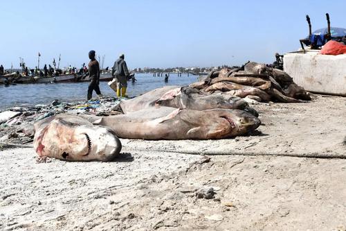 شکار کوسهها برای بالههایشان در کشور آفریقایی سنگال/ خبرگزاری فرانسه