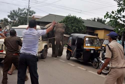 تلاش برای گرفتن یک فیل وحشی گریخته از جنگل در شهر گواهاتی هند