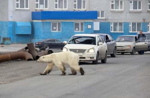 عبور یک خرس قطبی در خیابانی در شهر صنعتی