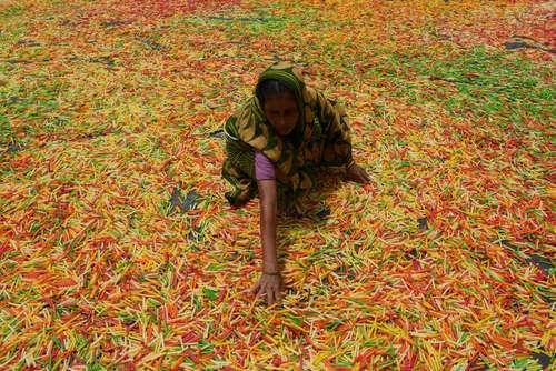 خشک کردن یک نوع غذای خمیری ادویهدار در آگارتالا هند/ گتی ایمجز