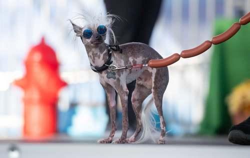 مسابقات سالانه زشتترین سگهای خانگی در ایالت کالیفرنیا آمریکا/ خبرگزاری فرانسه