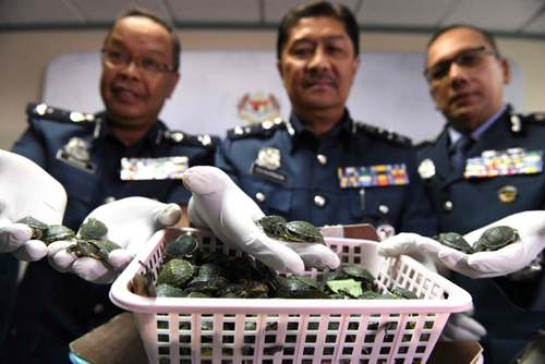 کشف محموله قاچاق بچه لاکپشت از سوی پلیس مالزی/ خبرگزاری فرانسه