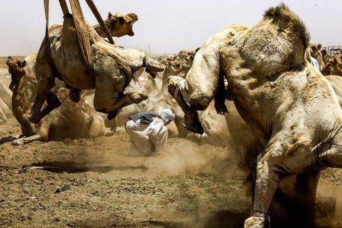 مقاومت شترها در برابر انتقال به بازار فروش در مصر/ رویترز