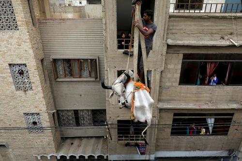 انتقال گاو از پشت بام خانهها در شهر کراچی پاکستان برای فروش در بازار احشام به مناسبت عیدقربان/ رویترز