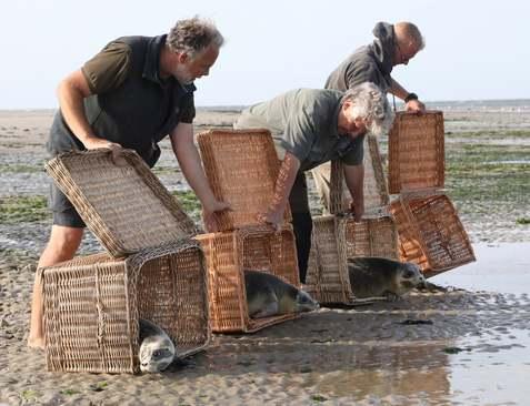 آزاد کردن 4 بچه خوک آبی در دریای شمالی آلمان/ EPA
