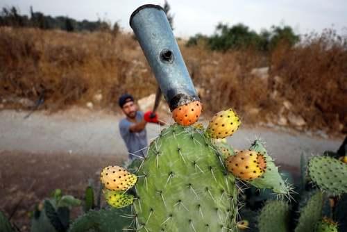برداشت گلابیهای تیغ دار در مزرعهای در روستای
