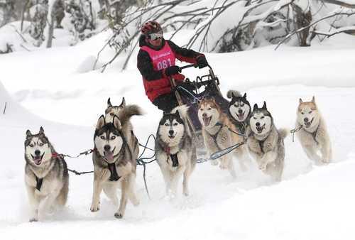 مسابقات سورتمهرانی با سگ در