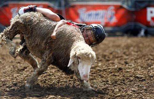 مسابقه گوسفند سواری کودکان در نمایشگاه سالانه ایالتی در ایالت