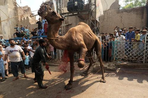 قربانی کردن یک شتر در عید قربان در پیشاور پاکستان/ رویترز