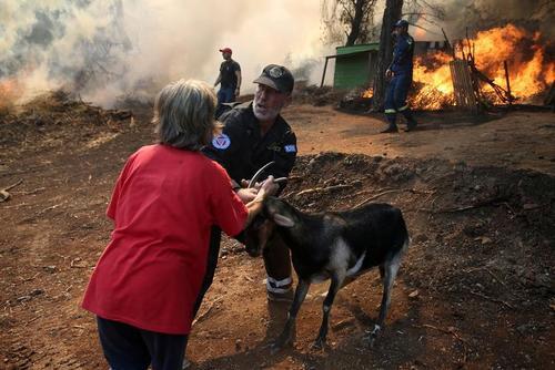 نجات یک بز از شعلههای آتش سوزی جنگلی در یونان/ رویترز