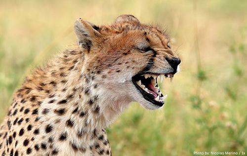 یوزپلنگها غرش نمیکنند. آنها مثل گربههای خانگی «میو میو» میکنند.