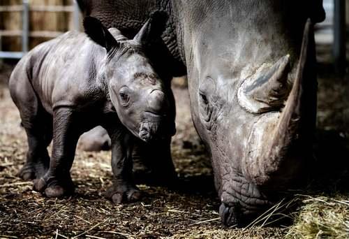کرگدن 5 روزه در کنار مادرش در باغ وحشی در هلند/EPA