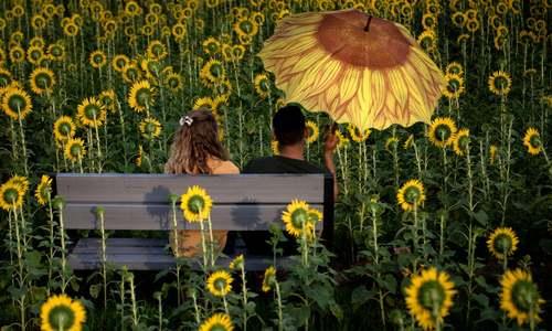 یک مزرعه گل آفتابگردان در ایالت