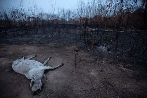 خفه شدن یگ گاو در آتش سوزی جنگلهای آمازون در برزیل/ EPA