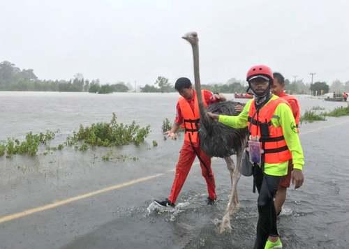 نجات یک شتر مرغ از سیلاب توفانی در تایلند/EPA