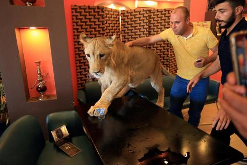 بازی با توله شیر 15 ماهه در کافهای در منطقه کردنشین