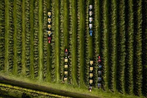 باغ سیب در هلند/ EPA