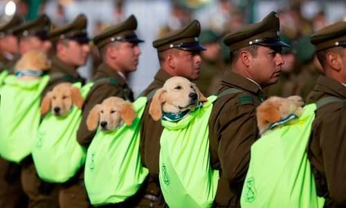 ماموران اداره گمرک شیلی با سگهای موادیاب خود در رژه بزرگ نظامی در شهر سانتیاگو (پایتخت) حاضر شدهاند./ خبرگزاری فرانسه