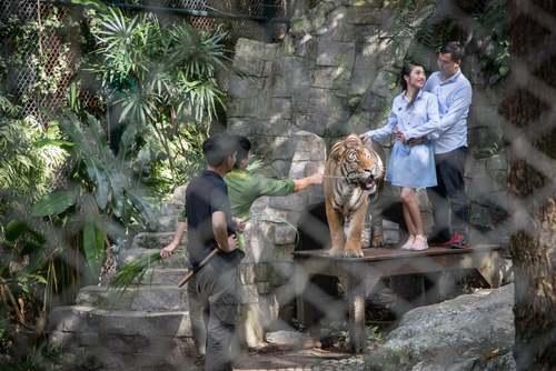 عکس گرفتن گردشگران با ببر در یک مرکز نگهداری ببرها در چیانگ مای