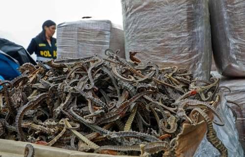 کشف بیش از 12 میلیون قطعه اسب آبی خشک شده در کشور پرو/ خبرگزاری فرانسه