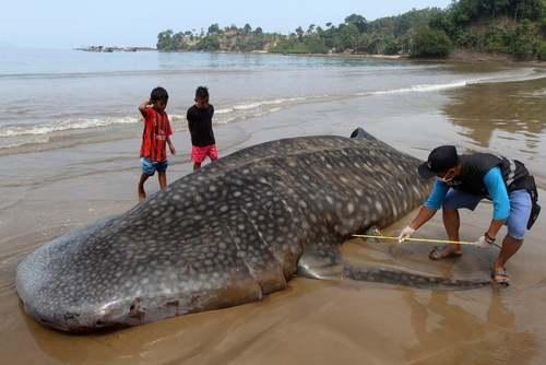 یک وال در ساحل سوماترا اندونزی/ EPA