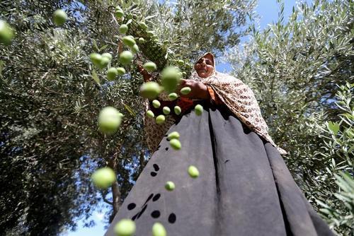 برداشت زیتون از یک باغ در غزه/ رویترز