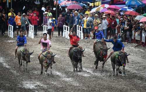 مسابقات سالانه بوفالو سواری در