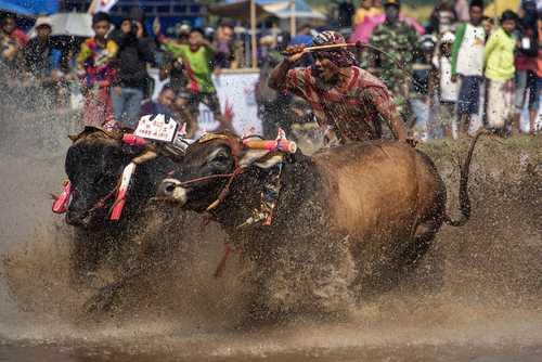 مسابقات سالانه بوفالو رانی در جاوه اندونزی/ خبرگزاری فرانسه