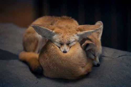 خواب دو روباره در کنار هم در پارک حیاتوحش شهر