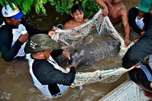 نجات یک دلفین در رود آمازون برزیل/ گتی ایمجز