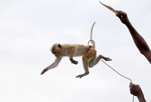 نمایش میمون در پایتخت سریلانکا/ رویترز