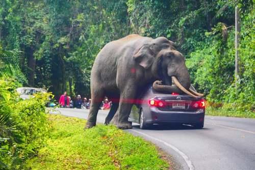 حمله یک فیل وحشی به خودروی یک گردشگر در پارک حیاتوحش در تایلند. راننده پس از حمله فیل پا به فرار گذاشت و آسیبی ندید./ خبرگزاری فرانسه