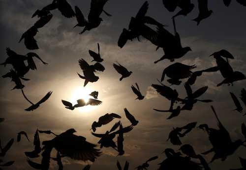 پرواز پرندهها در غروب شهر کابل/ آسوشیتدپرس