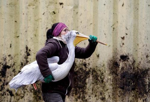 کارمندان باغ وحشی در جمهوری چک در حال انتقال پلیکان ها به خانه زمستانی آنها در باغ وحش/ رویترز