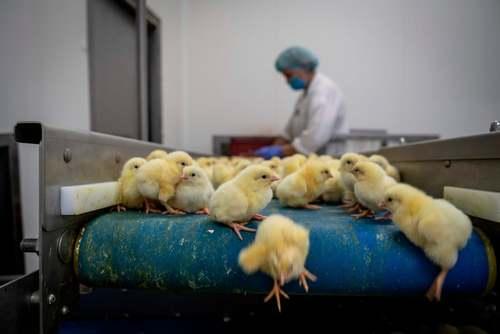 یک کارگاه جوجه کِشی در لهستان. لهستان بزرگترین تولید کننده مرغ و ماکیان در اتحادیه اروپاست./ خبرگزاری فرانسه
