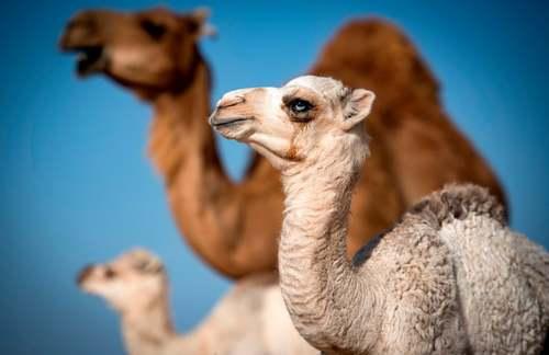 گله شتر در صحرای مراکش/ خبرگزاری فرانسه
