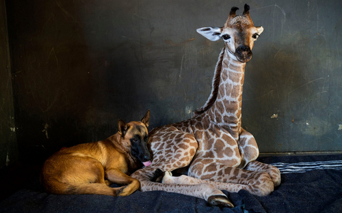 دوستی و مراقبت یک سگ از یک بچه زرافه 9 روزه در آفریقای جنوبی/ آسوشیتدپرس