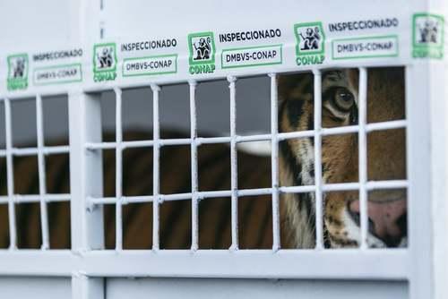 انتقال یک ببر بنگال از سیرکی در گواتمالا به شهر میامی در ایالت فلوریدا آمریکا. این اقدام با تلاش مدافعان حقوق حیوانات انجام پذیرفت./آسوشیتدپرس