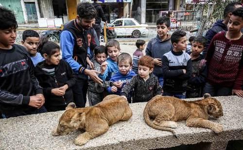 بازی کودکان غزهای با توله شیرهای باغ وحشی خصوصی در منطقه رفح در جنوب نوار غزه/ خبرگزاری فرانسه