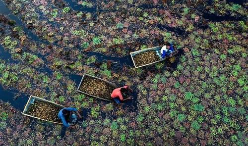 کشاورزان در حال جمعآوری شاه بلوطهای آبی در حوضچهای در ایالت اوتارپرادش هند/ آسوشیتدپرس